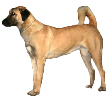 Anatolian Shepherd Dog  | Leather dog collar