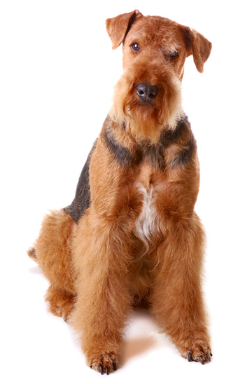 Airedale Terrier | Dog bathing