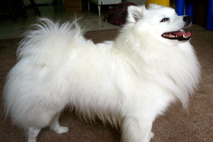 American Eskimo Puppies on Miniature American Eskimo Dog Information  Facts  Pictures  Training