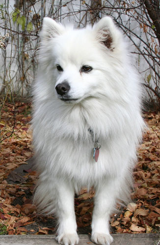 Toy American Eskimo Dog