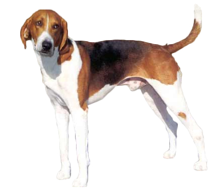 American Foxhound Information, Facts, Pictures, Training and Grooming