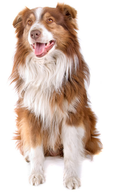 Australian Shepherd Information Facts Pictures Training