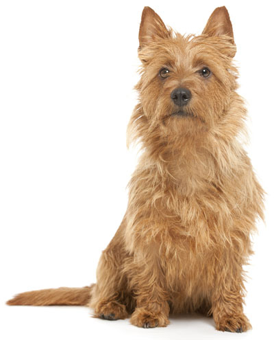 Australian Terrier Information, Facts, Pictures, Training ...