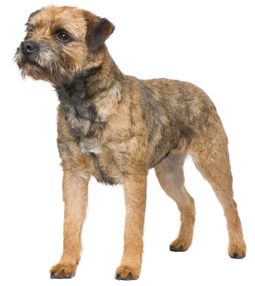 The Border Terrier Club