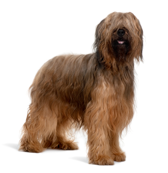 Briard Information, Facts, Pictures, Training and Grooming