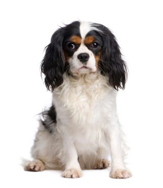 http://www.justdogbreeds.com/images/breeds/cavalier-king-charles-spaniel.jpg