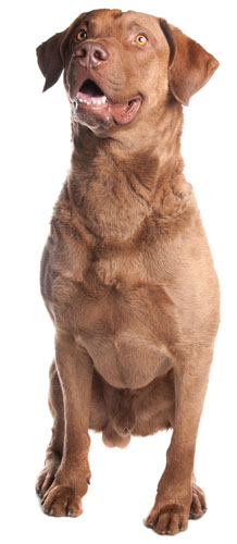 Chesapeake Bay Retriever excellent family dogs