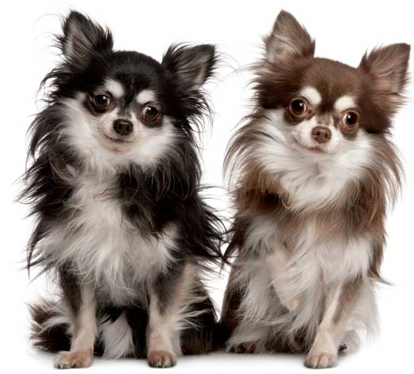 http://www.justdogbreeds.com/images/breeds/chihuahua-longcoat.jpg