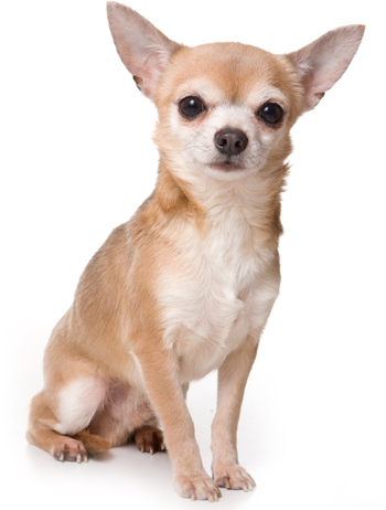 Chihuahua short coated