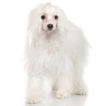 Chinese Crested Information Facts Pictures Training And