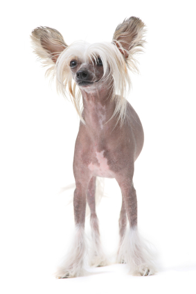 http://www.justdogbreeds.com/images/breeds/chinese-crested.jpg