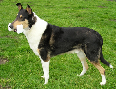 Collie smooth haired