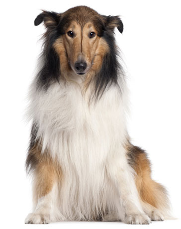 Collie long haired