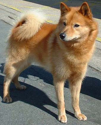 Finnish Spitz  | Dog Retriever Trainer