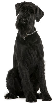giant schnauzer information facts pictures training and grooming. Black Bedroom Furniture Sets. Home Design Ideas
