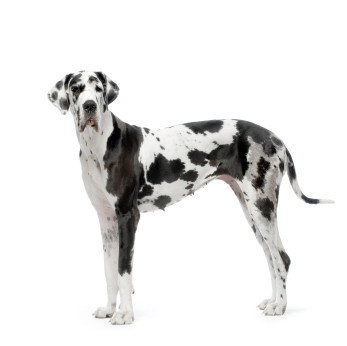 Great Dane Information, Facts, Pictures, Training and Grooming