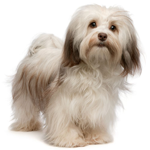 Learn about the temperament and personality of the Havanese. Discover ...