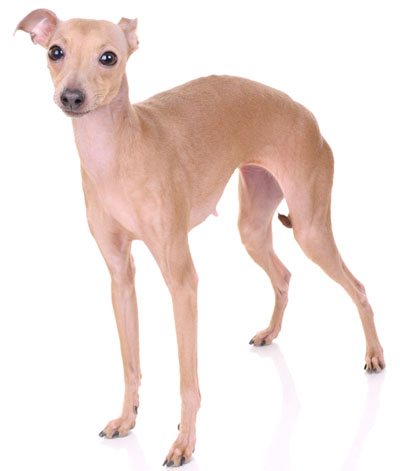 Italian Greyhound Information, Facts, Pictures, Training ...