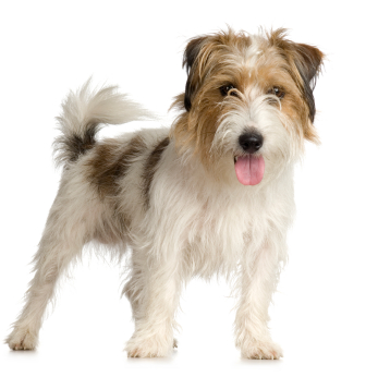 Jack Russell Terrier rough
