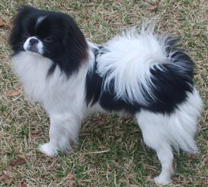 http://www.justdogbreeds.com/images/breeds/japanese-chin.jpg
