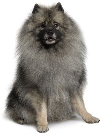 Dog of the spitz group and of medium size the keeshond is well known