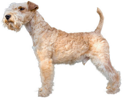 Lakeland Terrier Information, Facts, Pictures, Training ...