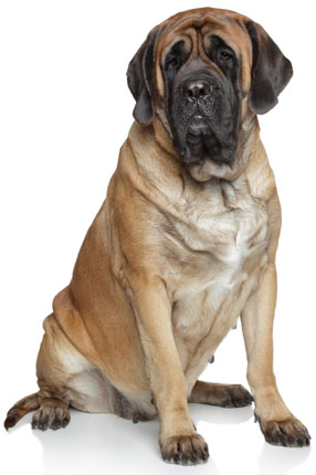 Mastiff Information Facts Pictures Training And Grooming