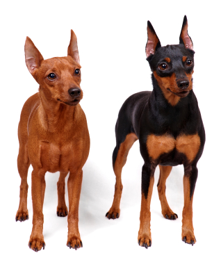 Miniature Pinscher Information, Facts, Pictures, Training and Grooming