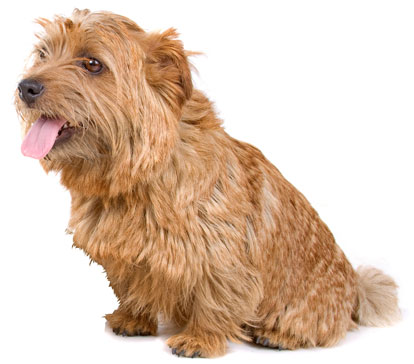 Norfolk Terrier Information, Facts, Pictures, Training and Grooming