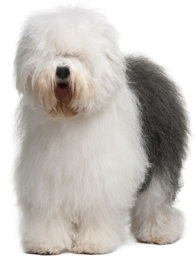 Old English Sheepdog | Dog Fence