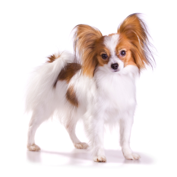 Papillon Information, Facts, Pictures, Training and Grooming