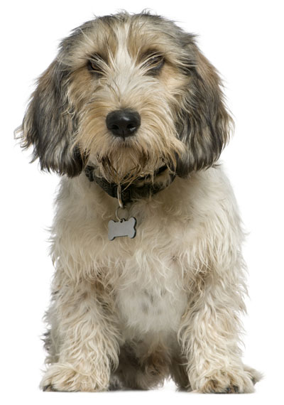Petit Basset Griffon Vendeen | Dog Training Aids