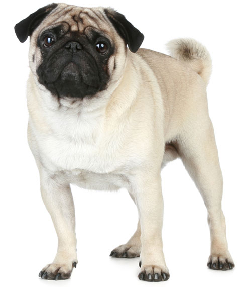 Pug Information Facts Pictures Training And Grooming
