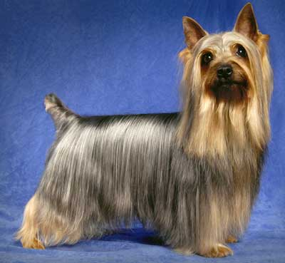 Silky Terrier Information Facts Pictures Training And Grooming