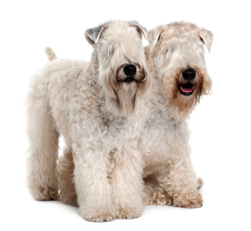 Learn about the temperament and personality of the Soft Coated Wheaten ...