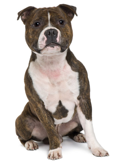 """characteristics of the american pit bull terrier This page discusses the most notable traits of pit bull type dogs, including the   stahlkuppe (1995) writes: """"the american pit bull terrier (apbt) or the am staff."""