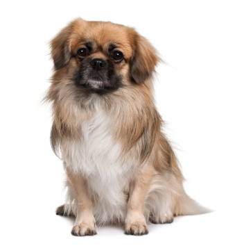 Tibetan Spaniel Information, Facts, Pictures, Training and Grooming