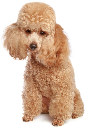 Toy Poodle Information, Facts, Pictures, Training and Grooming