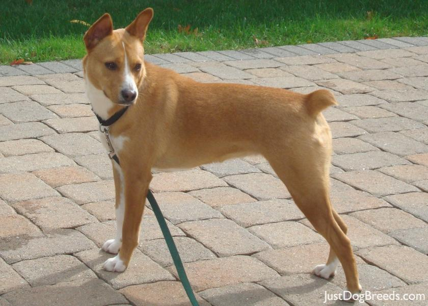 Basenji Lab Mix. on tuesday Basenji+mix