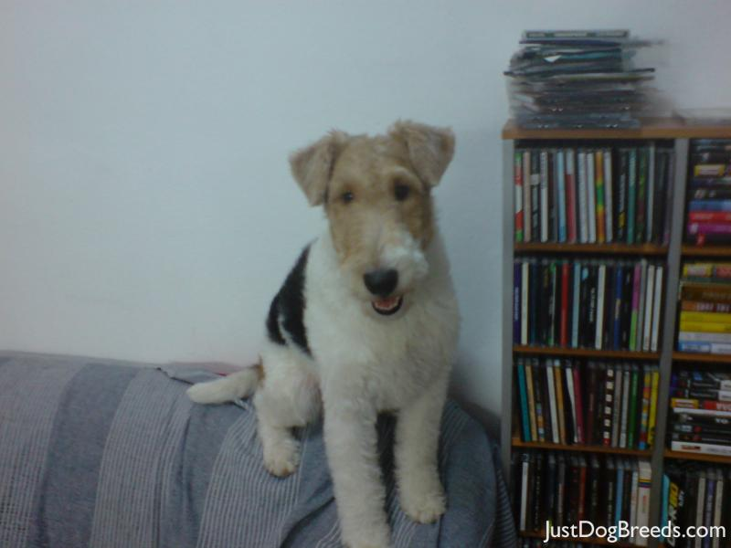 Wire Haired Fox Terrier Wallpapers, Pictures & Breed Information ...